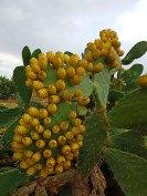 Kaktusfeigenbaum