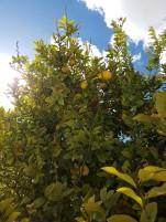 Die Zitronen blühen jetzt natürlich nicht, sondern sind natürliche Vorratsbehälter in fast allen Gärten
