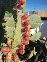 Die Kaktusfeigen schmecken sehr lecker im Sommer