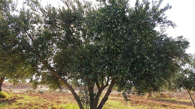 OlivenbaumMaida