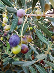 Olivenwerdenreif