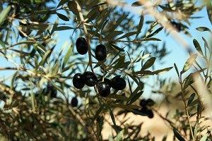 Olivenernte1