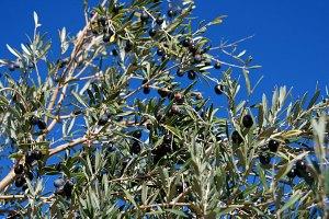 Olivenernte3