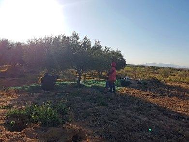 Olivenpflückerinnen1 - Kopie