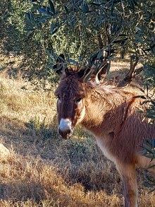 Olivenpflückerinnen2Esel - Kopie