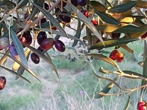 Olivenreif1